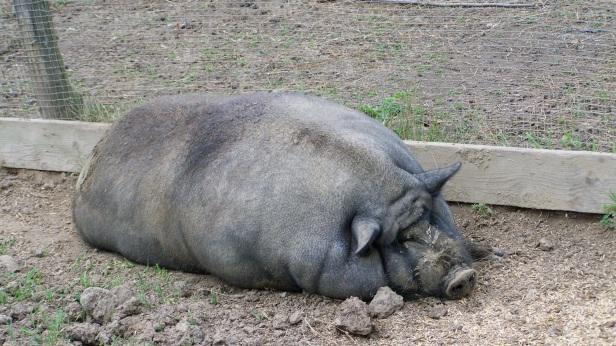 Die Sau ist vom Wiegen fetter geworden